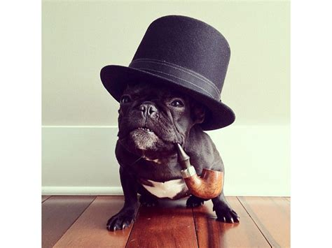 The Most Adorable French Bulldog on Instagram «TwistedSifter