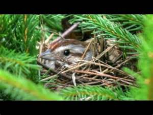 Song Sparrow Nest and Calls - YouTube