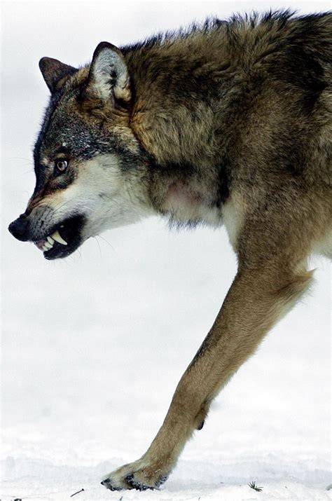 Are Direwolves Real? Extinct 'Game Of Thrones' Wolf Could