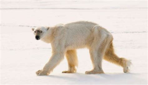 Hungry polar bear makes record dive - The Local