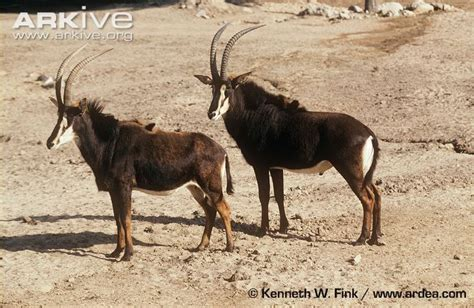 Mojo Iberian Lynx and Giant Sable Antelope - Page 2
